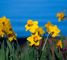 Daffodils by Jason Scott
