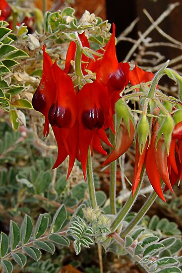 Sturt's Dersert pea by Julia Harwood