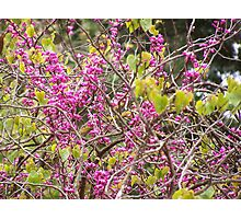 Adelaide in Spring - pink beauty Photographic Print