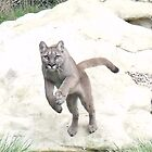 Viktoria - Puma at Wildlife Heritage Foundation in Kent by claireandcoco