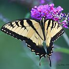 Swallowtail Sweetness by Terry Aldhizer