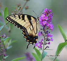 Swallowtail Butterfly Just Right by Terry Aldhizer