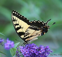 Perfect Perch Swallowtail Butterfly by Terry Aldhizer
