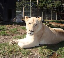 Imvula the white lioness by claireandcoco