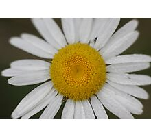 Dew Covered Daisy Center Photographic Print