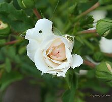 Looking Down On White Rose Buds by Terry Aldhizer