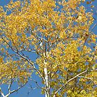Birch leaves are falling by Chickapeek