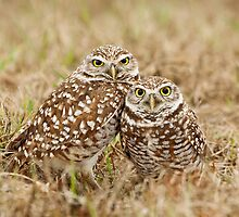 Burrowing Owls - Cape Coral, Florida by Daniel Cadieux