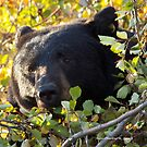 BLACK BEAR PEAKING OUT OF THE TREE by Charlene Aycock IPA