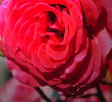 Love is a Red Rose by Sean LaBelle