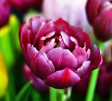 Purple Tulips in Bloom 1 by Tom Mostert