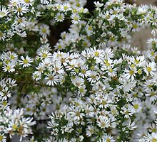 Calico Aster - Aster lateriflorus by Tracy Faught