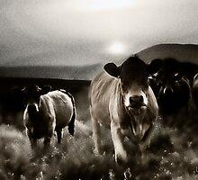 Fell cows. by loronzo