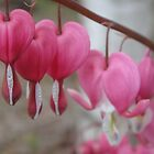 Bleeding Heart by Danielle Gill