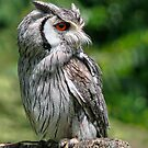 Long-Eared Grey Owl by Susie Peek