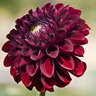 Dahlia in the Halifax Public Gardens by Robert Kelch, M.D.