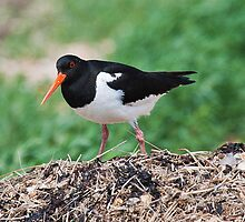 Oyster Catcher by Elaine123