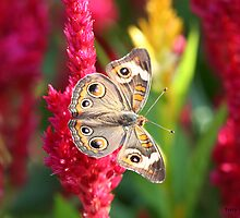 The Not So Common Common Buckeye Butterfly II by Terry Aldhizer
