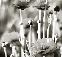 pete's poppies by vampvamp