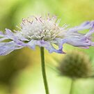 Scabious splendour by Mandy Disher