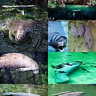 Manatee montage by Ted Petrovits