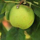 Large cooking apple by EmJackson