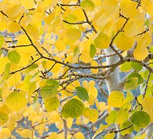 Golden leaves in RMNP by Eivor Kuchta