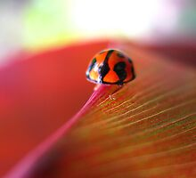 Ladybird on Cordyline by Vanessa Barklay