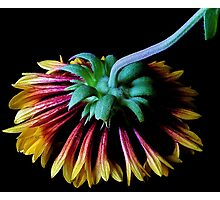 Two Toned Daisy USD Photographic Print