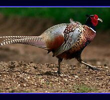 A Cocky Pheasant  by snapdecisions