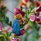 Blue Moth. by trevorb