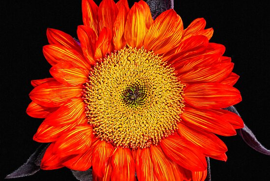 Red Sunflower  by Saija  Lehtonen