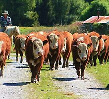 """""""moving the boys""""  flagstaff hereford stud by rina  thompson"""