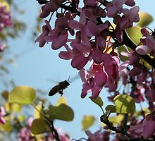Busy Bee in the Judas Tree,Tumut,Australia. by kaysharp