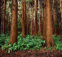 Criptomeria Forest by Rodrigo Sá da Bandeira