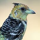 Crested barbet up close(Trachyphonus vaillantii) by jozi1