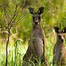 Wild Kangeroos by Paul Welding