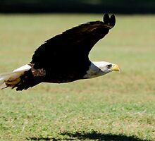 Eagle Swooping Down by imagetj