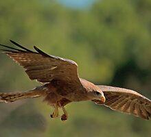 Hawk Picks Up Some Food by imagetj