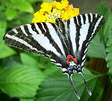 swallowtail  butterfly by Linda  Makiej Photography