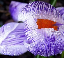 Breaking Free! - Crocus - New Zealand by AndreaEL