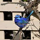 Blue Wren in the Garden Busselton Western Australia by Coralie Plozza