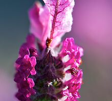 Pink Lavender by Renee Hubbard Fine Art Photography