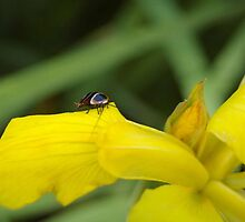 Yellow Iris and tiny cockroach by yeuxdechat