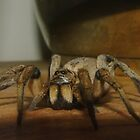 Wolf Spider by yeuxdechat