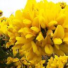 Yellow Gorse by Pigglepum