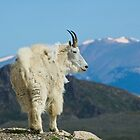 Colorado Mountain Goat by Luann wilslef