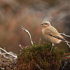 Wheatear on Heather by kernuak