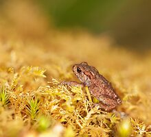 Common Toadlet Side View by kernuak