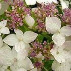 White Hydrangea by Barbara Burkhardt